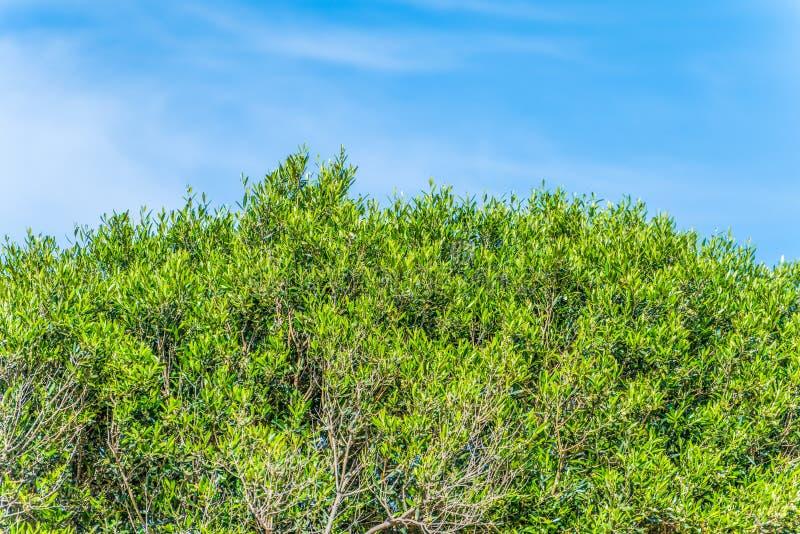 Ramas del olivo en el fondo del cielo azul Grecia Isla de Crete fotografía de archivo