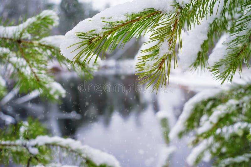 Ramas del pino debajo de la primera nieve fotos de archivo