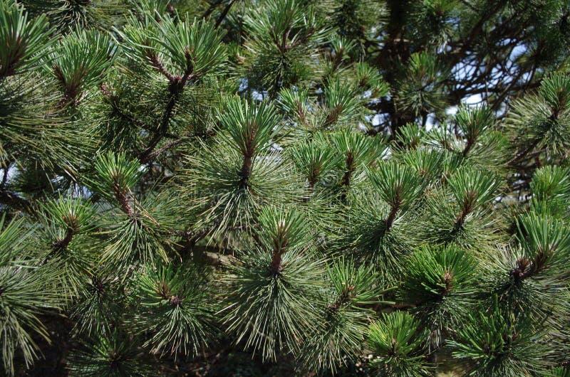 Ramas del pino en un día soleado imagen de archivo