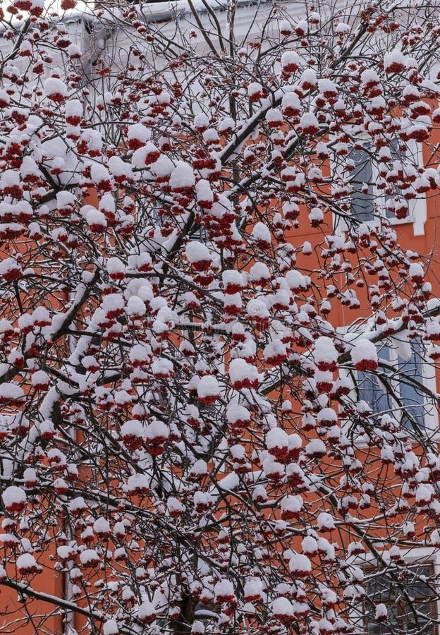 Ramas del serbal con los racimos de bayas debajo de la nieve en la ciudad en invierno foto de archivo libre de regalías
