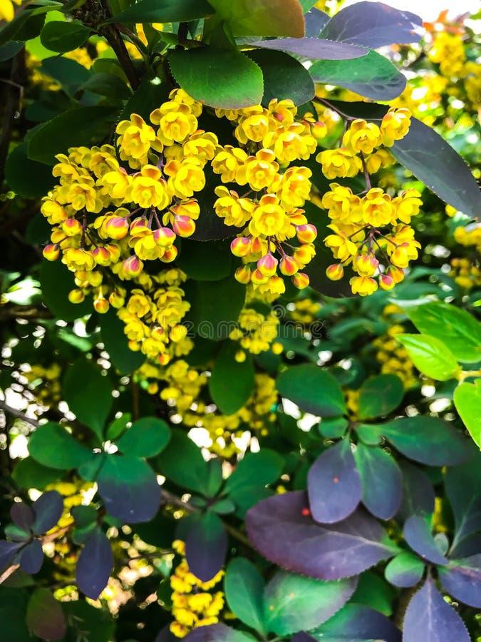 Ramas del thunbergii del Berberis con las flores amarillas foto de archivo libre de regalías