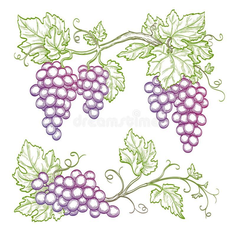 Ramas dibujadas mano de la uva ilustración del vector