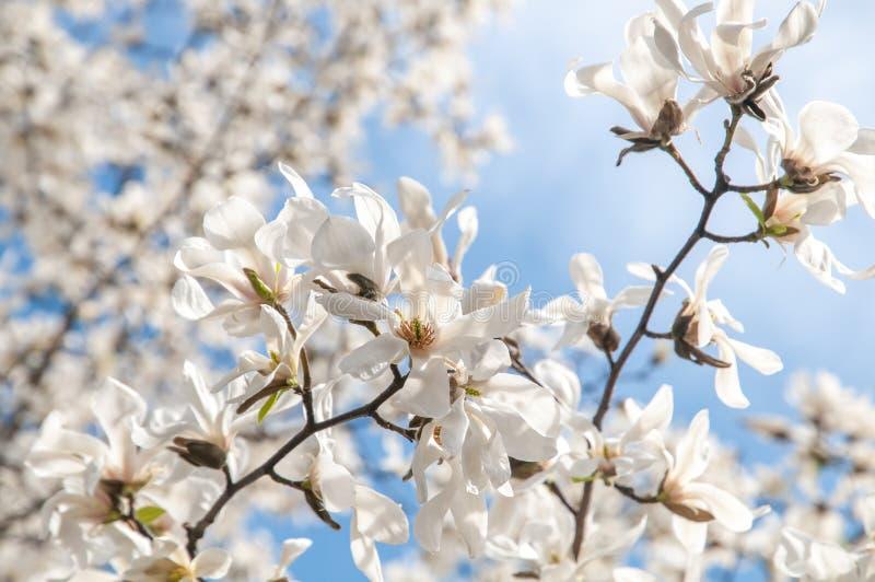 Ramas florecientes de la magnolia blanca contra el cielo azul fotografía de archivo