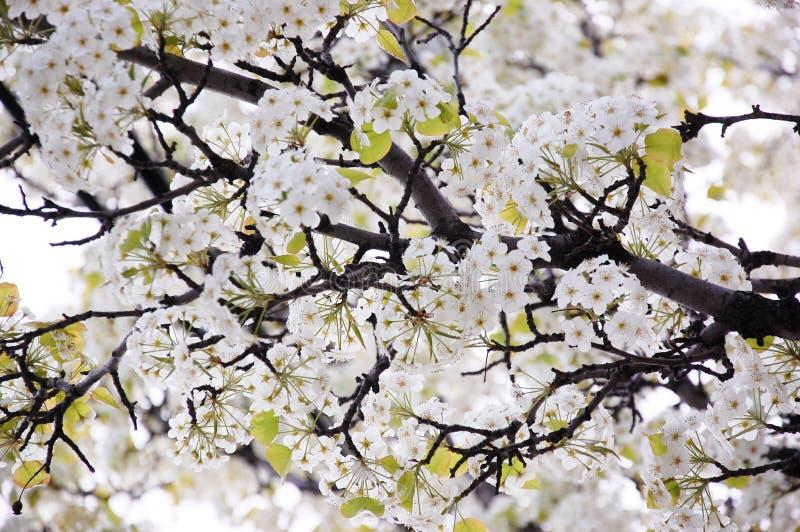 Ramas florecientes de la primavera con las flores fotografía de archivo libre de regalías