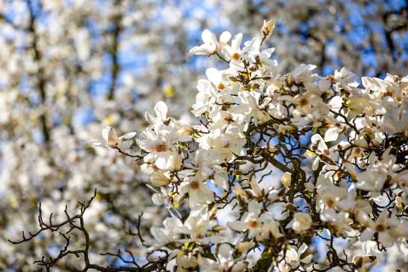 Ramas florecientes de las flores blancas de la magnolia contra el cielo azul en la primavera Praga en República Checa fotografía de archivo libre de regalías