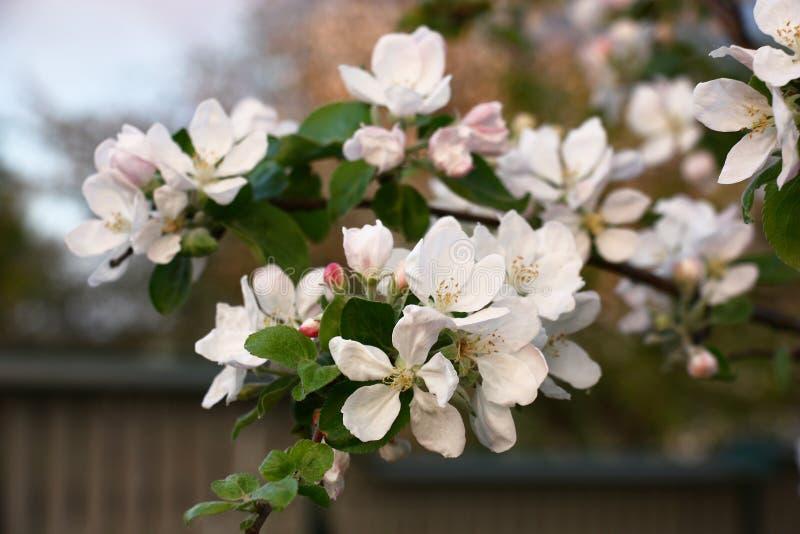Ramas florecientes de un manzano del jardín imágenes de archivo libres de regalías