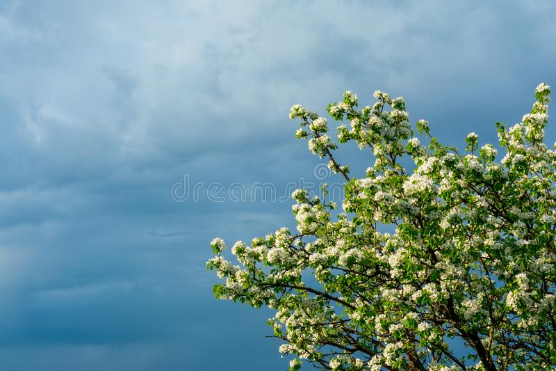 Ramas florecientes de un peral con las hojas verdes jovenes contra el contexto de un cielo tempestuoso en la esquina del bastidor fotos de archivo