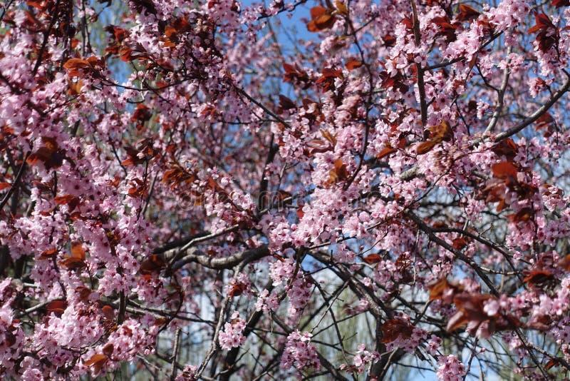 Ramas florecientes del árbol de ciruelo púrpura-hojeado foto de archivo libre de regalías