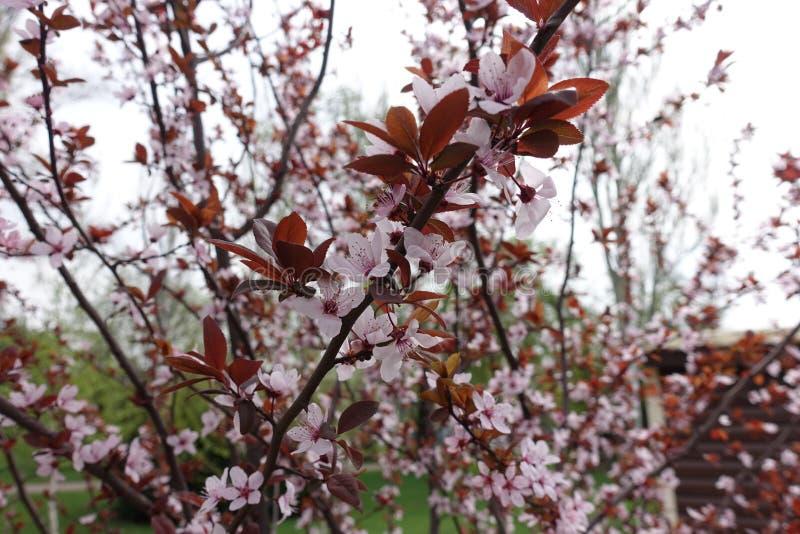 Ramas florecientes del pissardii del Prunus fotografía de archivo libre de regalías