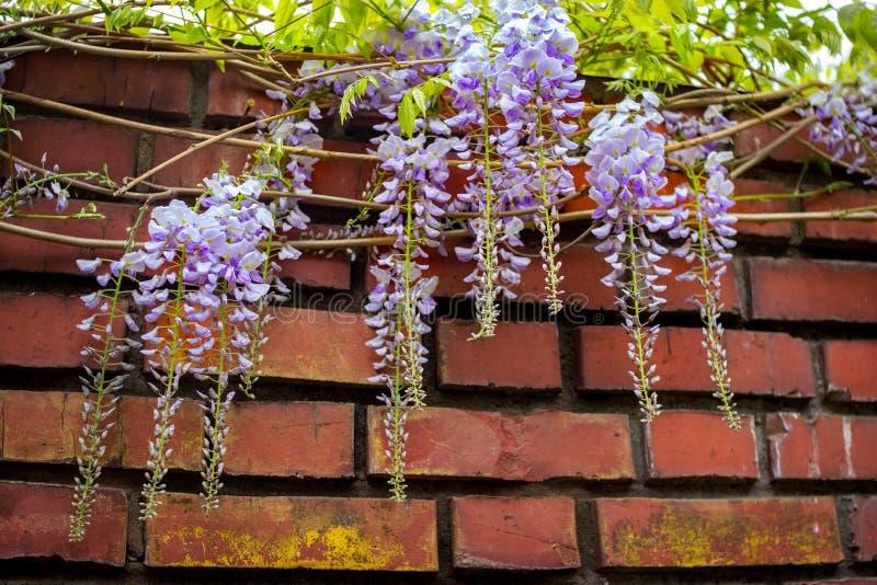 Ramas florecientes hermosas de la glicinia con las flores púrpuras imágenes de archivo libres de regalías