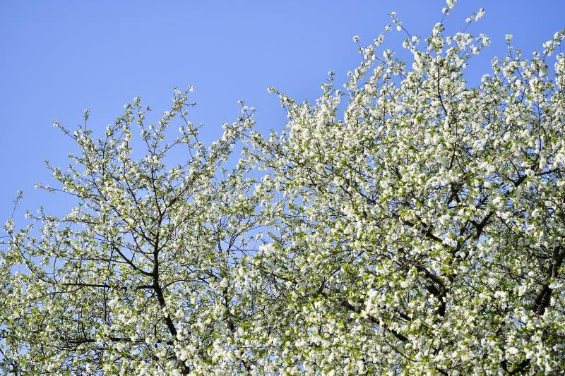 Ramas grandes de las flores de cerezo que florecen con las flores blancas contra el cielo despejado azul Fondo fotografía de archivo