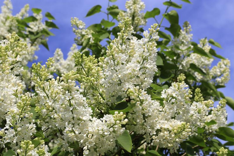 Ramas hermosas de la primavera del arbusto de lila blanco floreciente foto de archivo