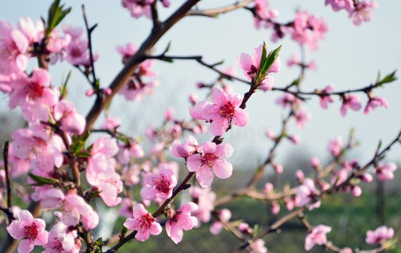 Ramas hermosas del melocotón con las flores florecientes rosadas imágenes de archivo libres de regalías