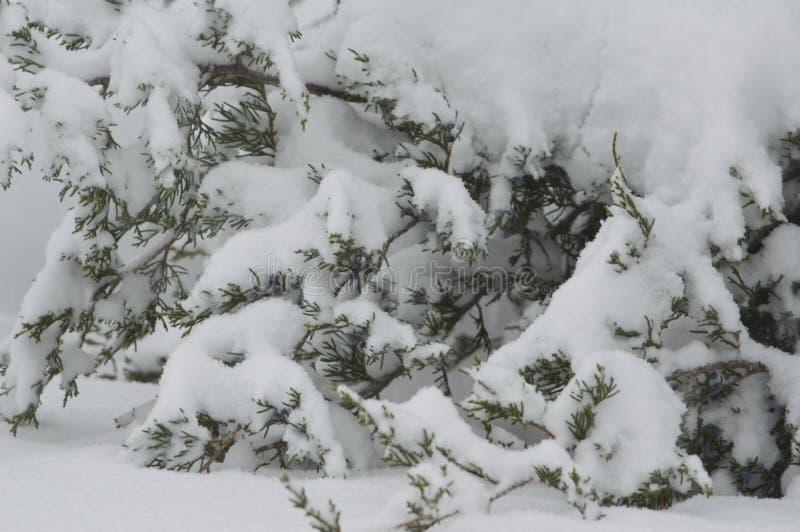 Ramas imperecederas del árbol cargadas con nieve fresca pesada imagen de archivo libre de regalías