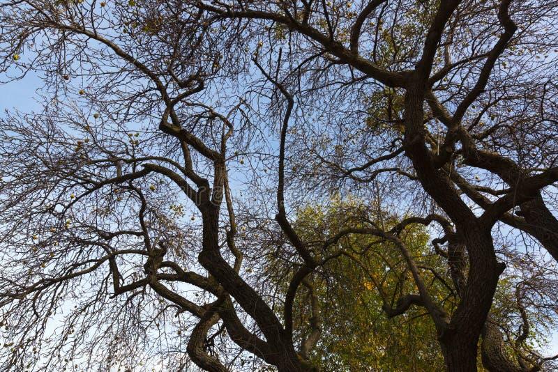 Ramas muy de viejo llevar del peral mucho fruta de la pera, otoño fotografía de archivo