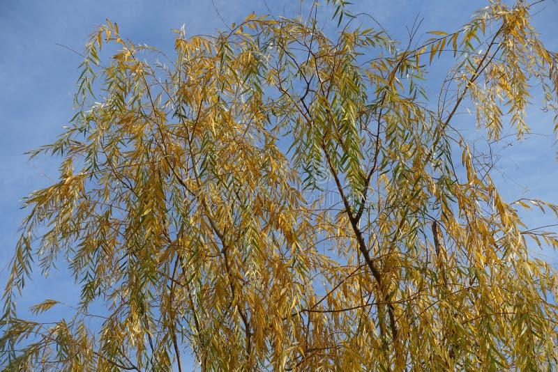 Ramas oscilantes del sauce joven con las hojas amarillas en otoño foto de archivo