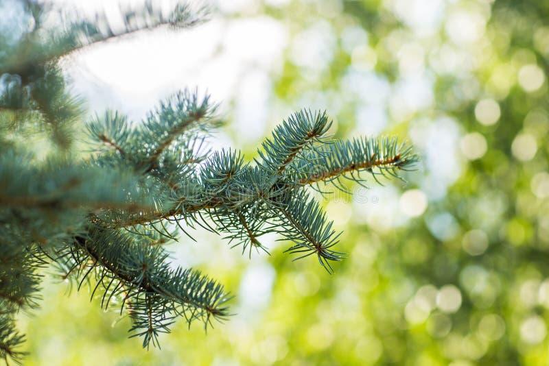 Ramas spruce azules al aire libre en un fondo verde foto de archivo