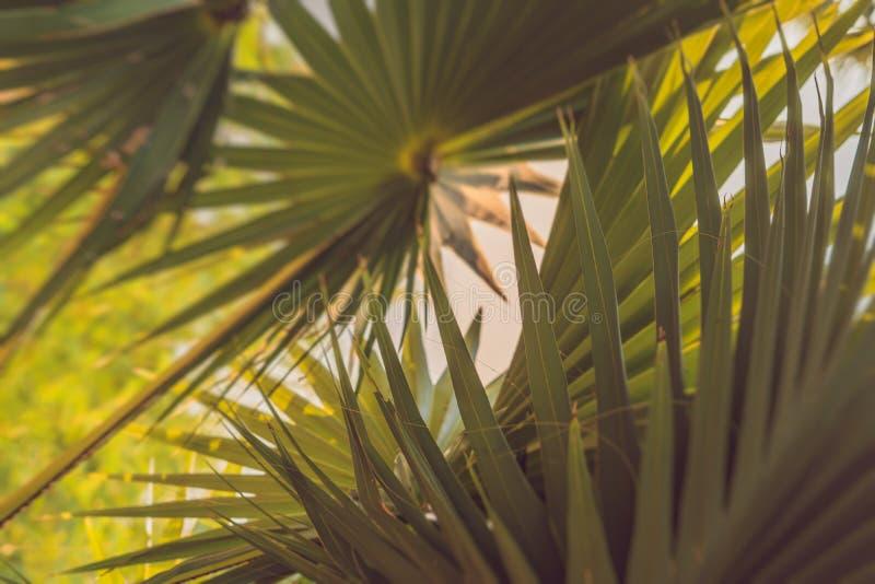 Ramas u hojas de palma de la palma en la puesta del sol Borrosos artísticos retros del vintage corrigen el fondo con las llamarad fotos de archivo libres de regalías