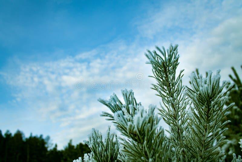 Ramas verdes de un árbol de pino joven en helada fotografía de archivo libre de regalías