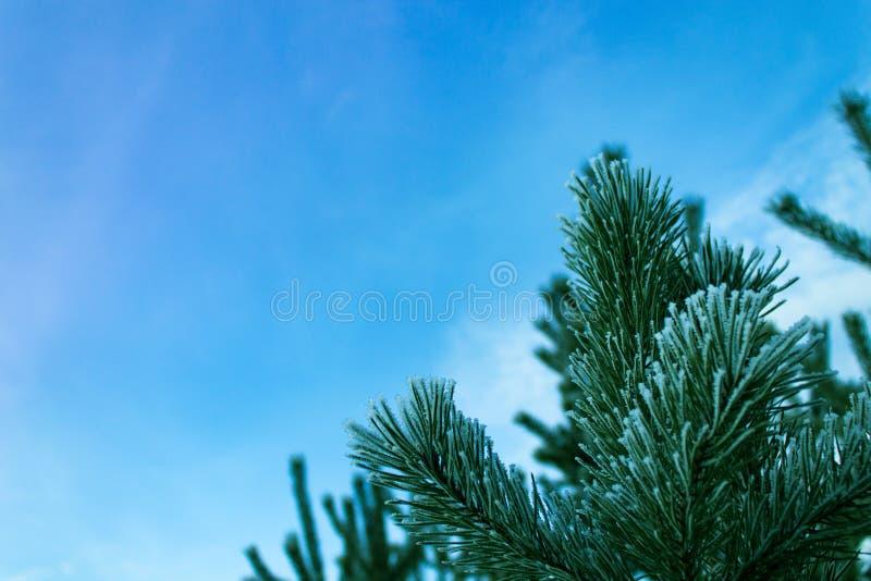 Ramas verdes de un pino joven fotos de archivo libres de regalías