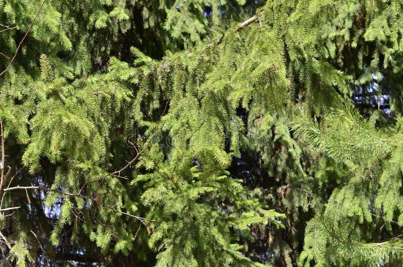 Ramas verdes del abeto en primavera temprana imagen de archivo