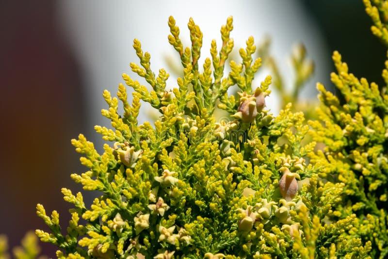 Ramas verdes y hojas jovenes de un ?rbol del thuja fotos de archivo libres de regalías