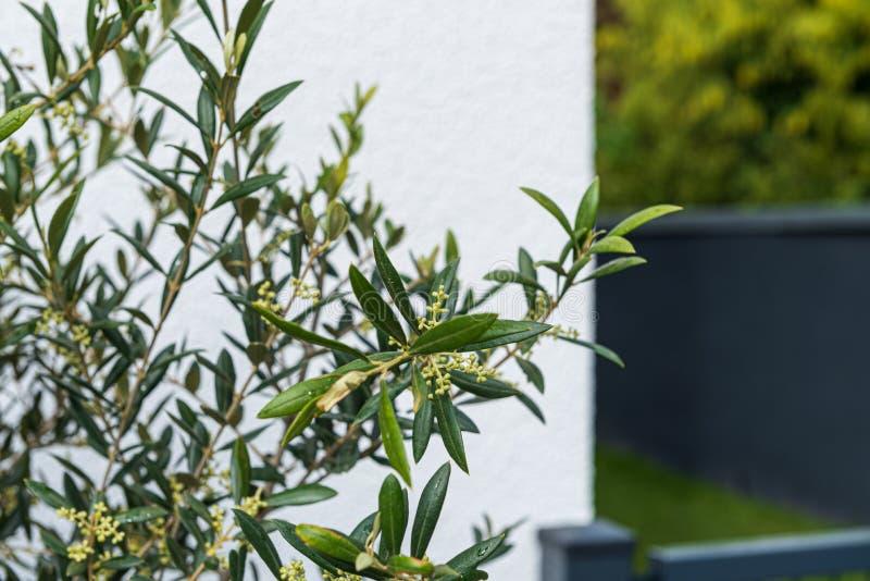 Ramas y flores de olivo fotografía de archivo libre de regalías