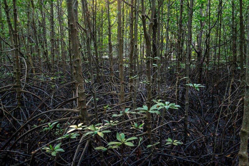 Ramas y raíces de árboles en el bosque del mangle fotografía de archivo