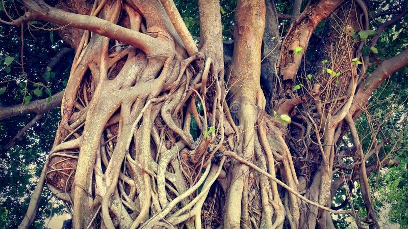 Ramas y raíces enormes del tronco de baniano fotografía de archivo libre de regalías
