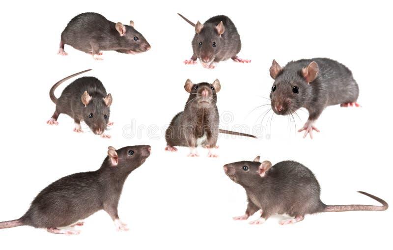 Ramassage de rat d'animal familier photo stock
