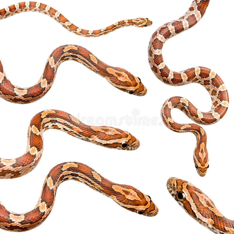 Ramassage de serpent de maïs six images stock