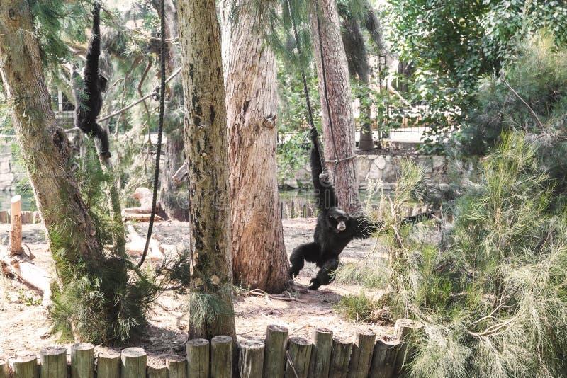 RAMAT GAN, ISRAEL - 25 DE SETEMBRO DE 2017: Estes são gibões dos primatas que jogam em Safari Park fotografia de stock royalty free