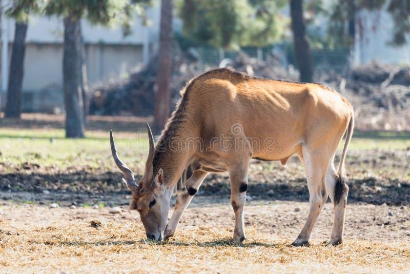 The impala Aepyceros melampus antelope looking for food on the ground in Safari park Ramat Gan, Israel. Ramat Gan, Israel - Februar 21, 2018 : The impala royalty free stock photos