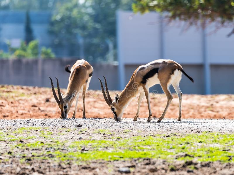 Two Thomson`s gazelle Eudorcas thomsonii are looking for food on the ground in Safari park Ramat Gan, Israel. Ramat Gan, Israel - Februar 21, 2018 : Two Thomson` royalty free stock photography