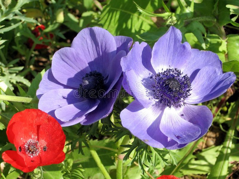Ramat Gan Park Poppy and Crown Anemone 2007 royalty free stock photography