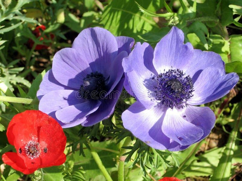 Ramat Gan Park Poppy et anémone 2007 de couronne photographie stock libre de droits