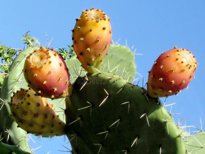 Ramat Gan Park Sabra Cactus 2012 fotografia stock