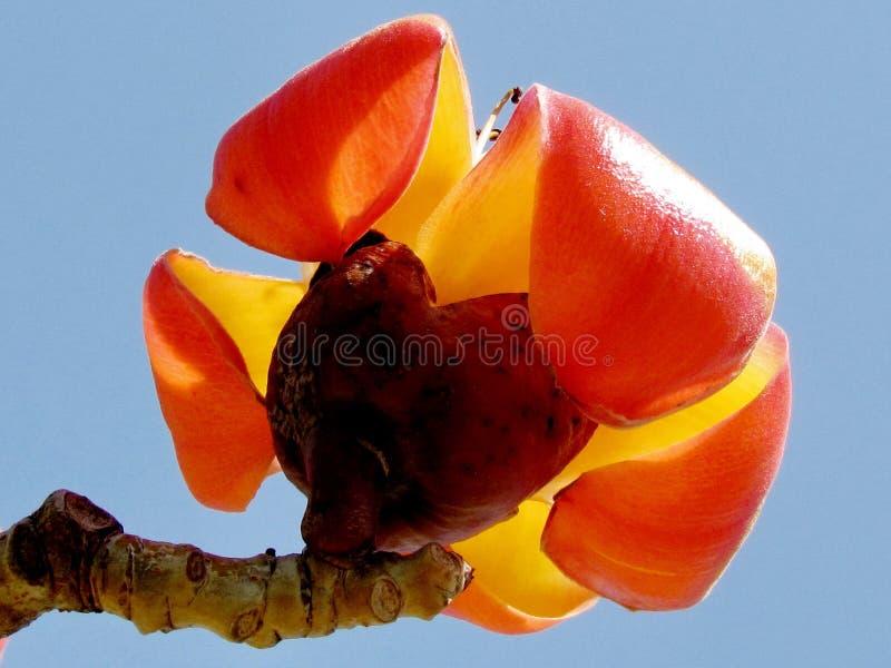 Ramat Gan Wolfson Park il fiore 2012 della ceiba del Bombax fotografia stock libera da diritti