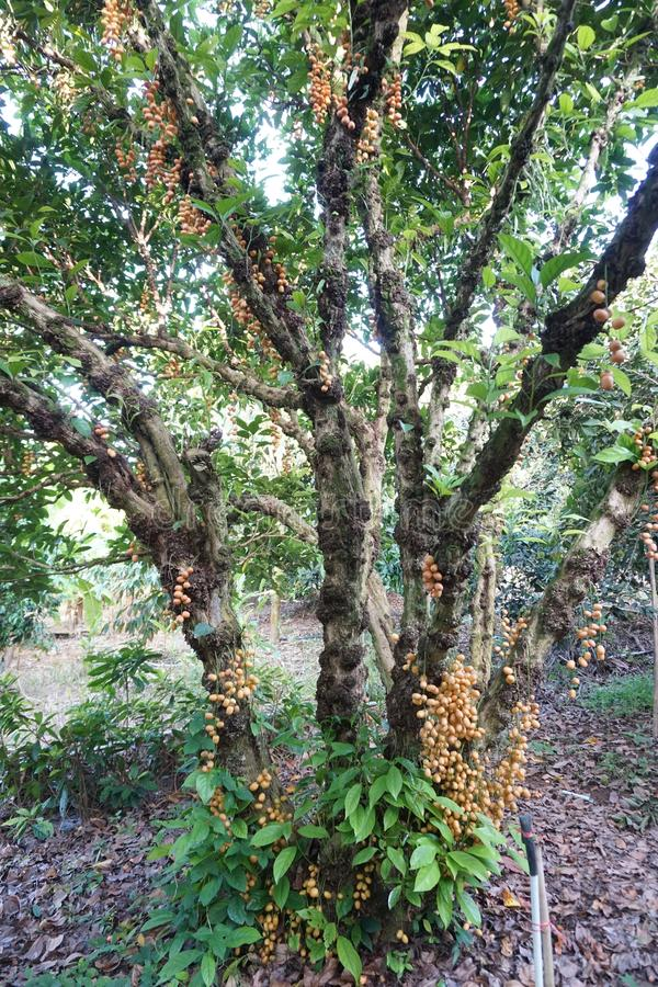Rambeh fruit on tree stock images