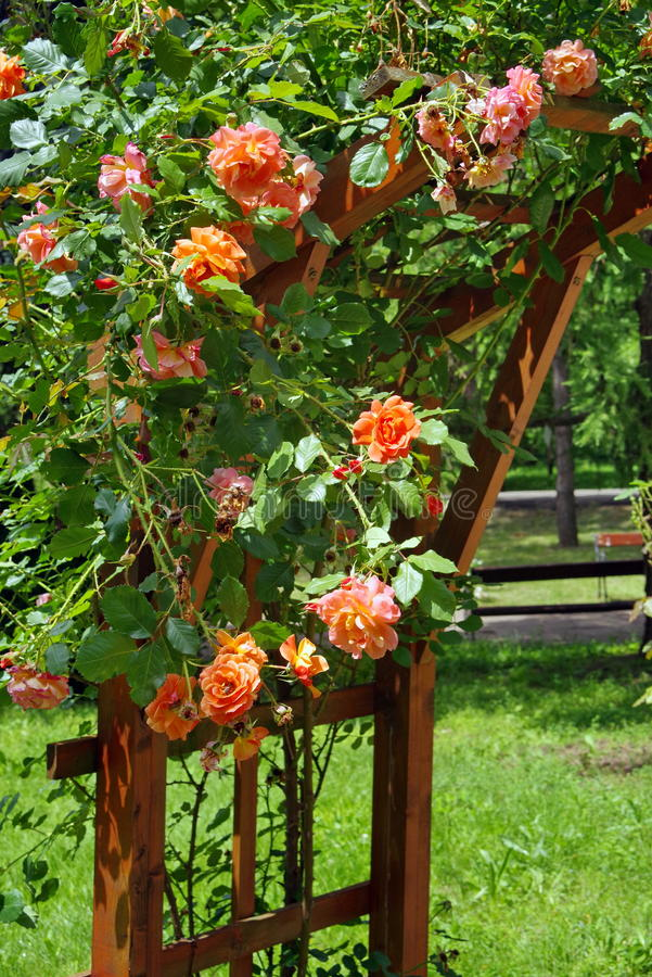 Summer Background With Flowers. Rambler Roses In The Garden. Lovely ...