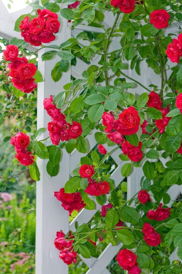 Rambling roses royalty free stock photo