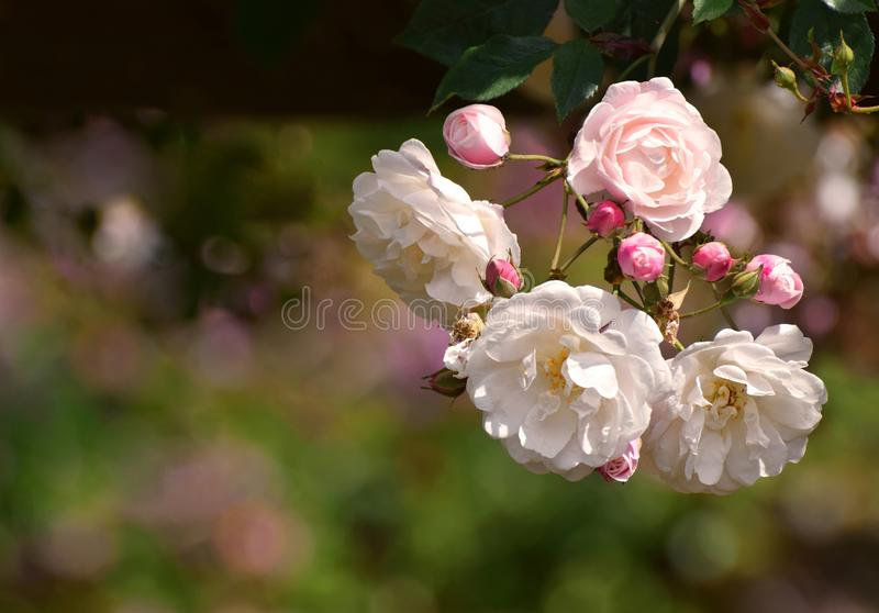 Rambling roses pale pink and white. Pale pink and white climbing rambling roses in a traditional English country garden in June royalty free stock images
