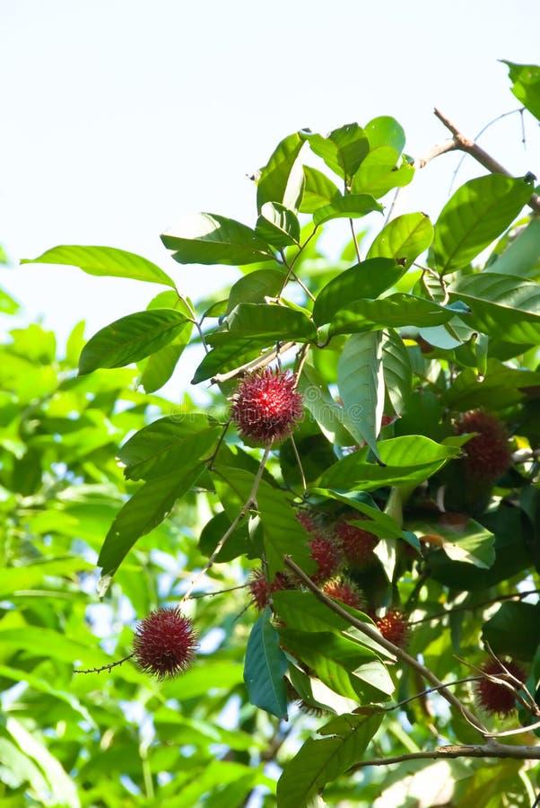 ramboutan de fruit images libres de droits