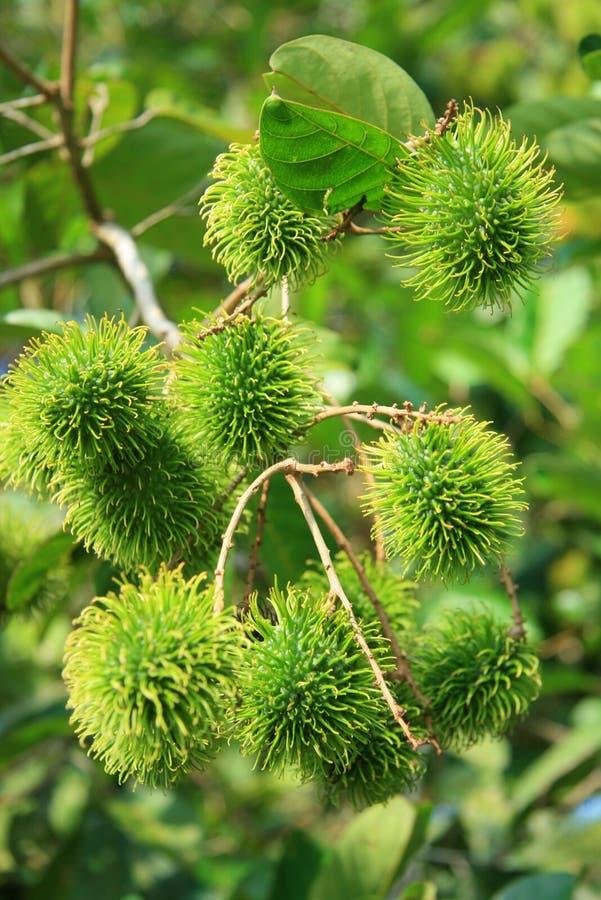 Rambutan. Raw fruit rambutan from tree royalty free stock photo