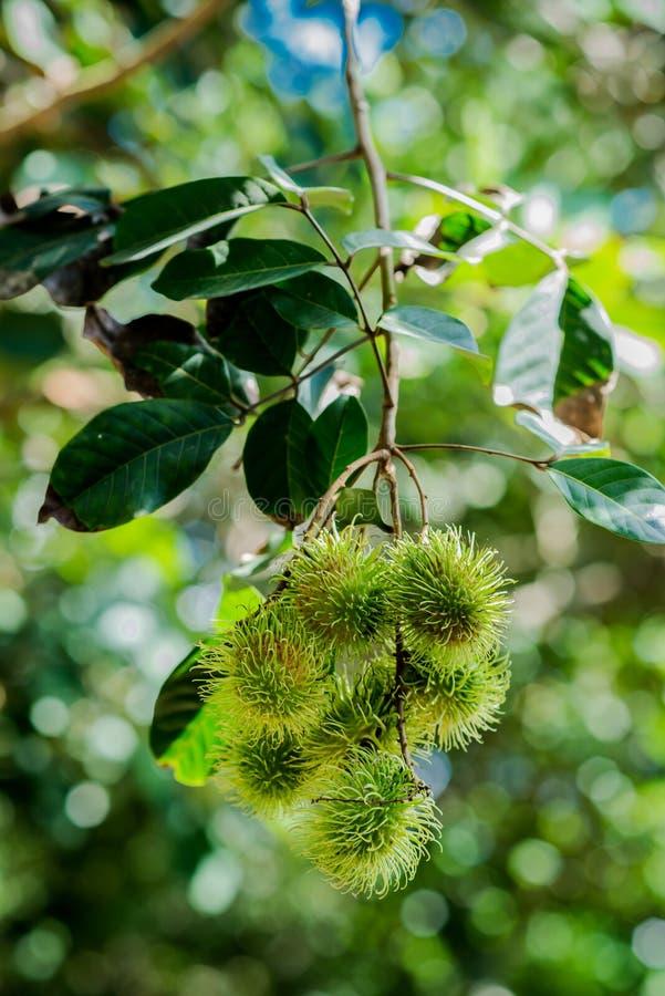 Rambutan. Fresh rambutan in the natural park royalty free stock image