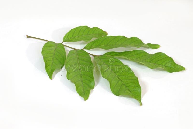 Rambutan leaves stock images