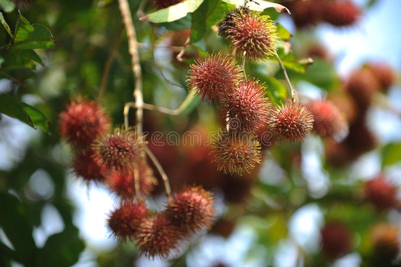 Rambutan. The rambutan is a medium-sized tropical tree in the family Sapindaceae. The name also refers to the edible fruit produced by this tree. The rambutan is royalty free stock photo