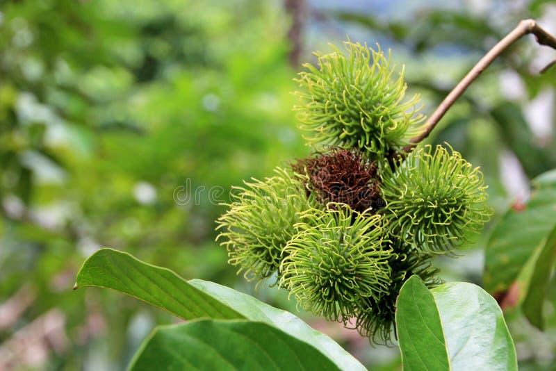 Rambutan, Nephelium Lappaceum, el lichi como la fruta con las espinas dorsales enganchadas largas, Costa Rica fotos de archivo
