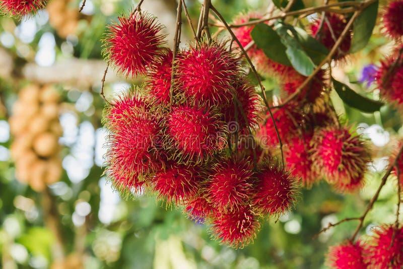 Rambutan på trädet är en söt frukt royaltyfria foton