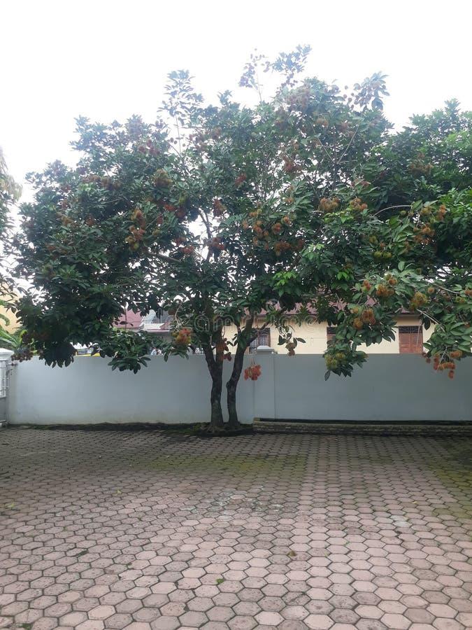 Rambutan. Asian, tropical, fruit, sweet stock photography